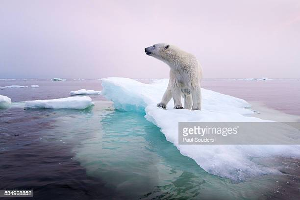polar bear, hudson bay, canada - pack ice stock pictures, royalty-free photos & images