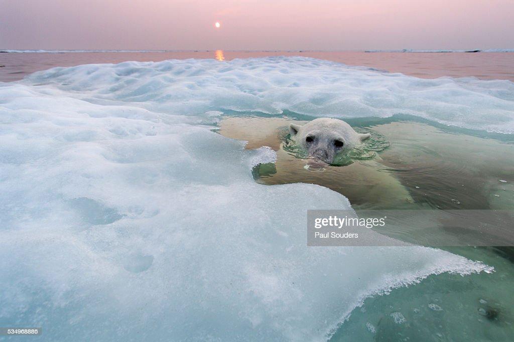 Polar Bear, Hudson Bay, Canada : Stock Photo