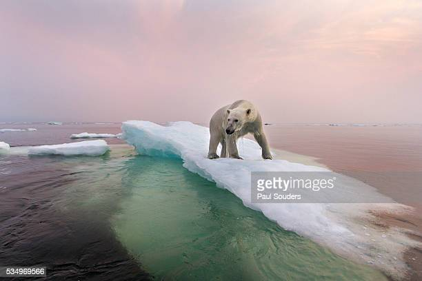 polar bear, hudson bay, canada - climate change stock pictures, royalty-free photos & images