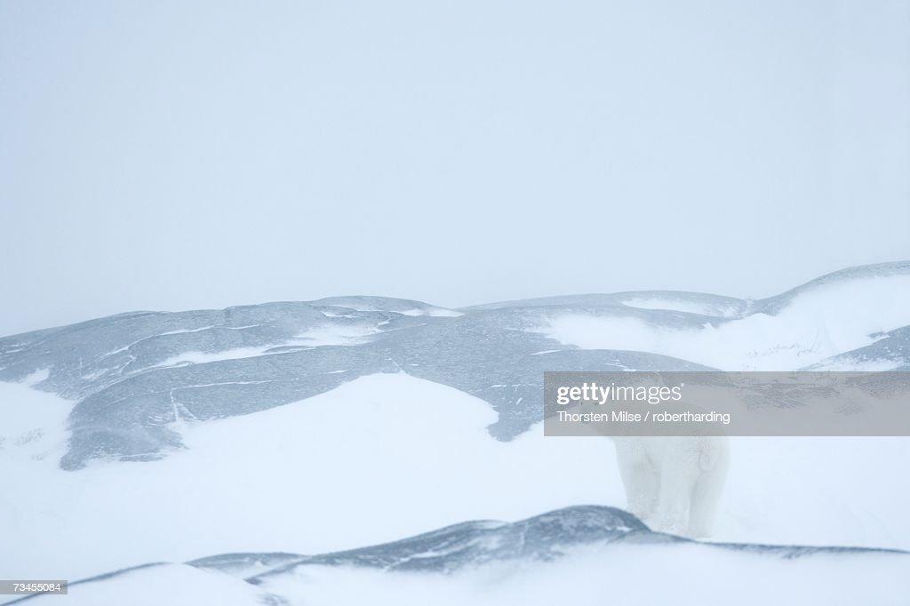 Polar bear (Ursus maritimus), Hudson Bay, Churchill, Manitoba, Canada, North America : Stock Photo