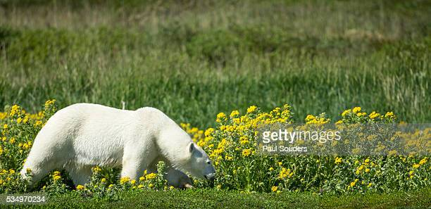 polar bear, hudson bay, manitoba, canada - hudson bay stock photos and pictures