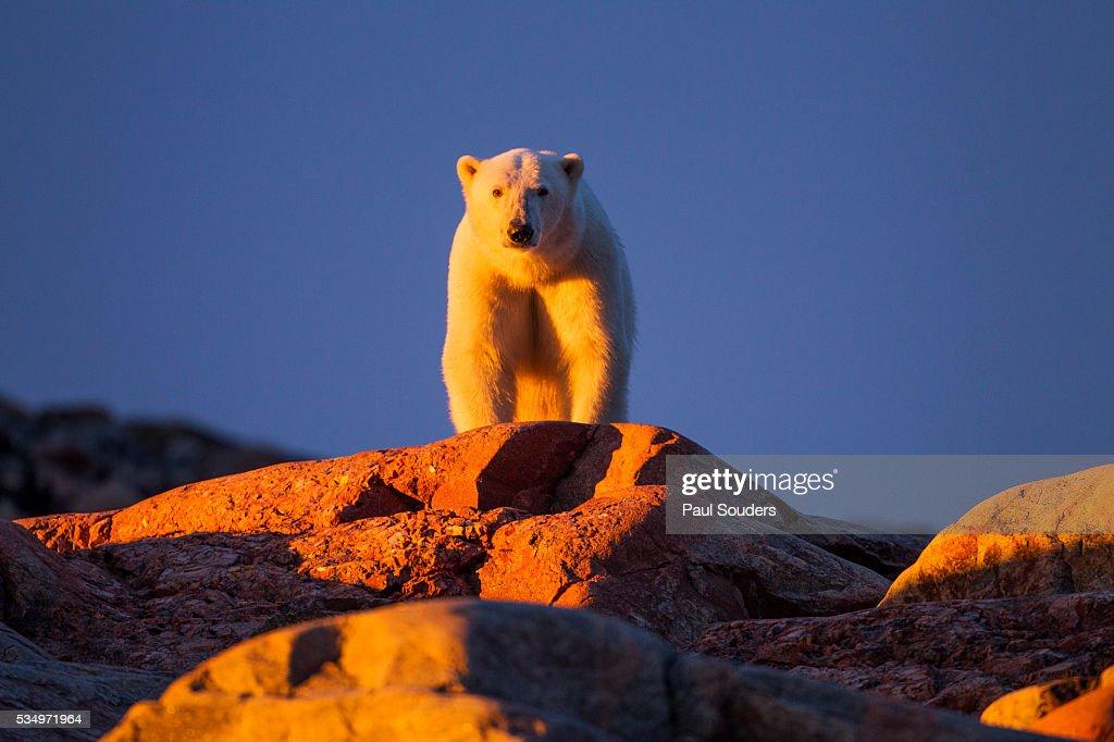 Polar Bear, Hudson Bay, Nunavut, Canada : Stock Photo