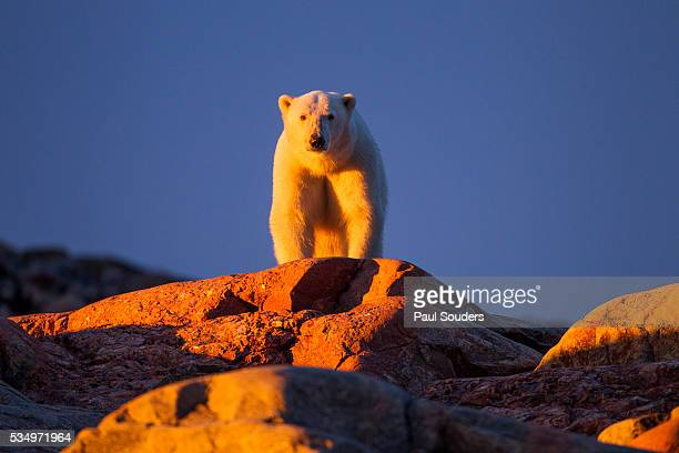 polar bear, hudson bay, nunavut, canada - hudson bay stock photos and pictures