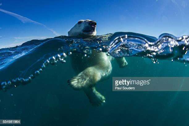 Polar Bear, Hudson Bay, Nunavut, Canada