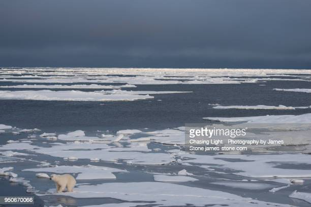 a polar bear in a vast frozen landscape of sea ice - drift ice stock pictures, royalty-free photos & images