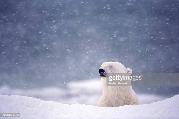 polar bear in blizzard near hudson bay - image stock pictures, royalty-free photos & images