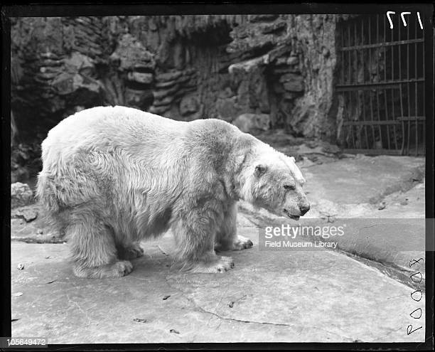 Polar Bear in cage at Lincoln Park Zoo Chicago Illinois 1900