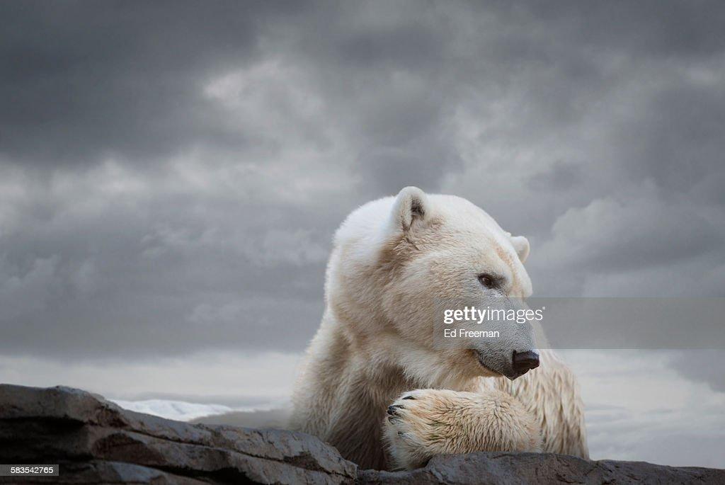 Polar Bear in Naturalistic Setting : Stock Photo