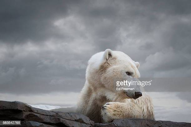 polar bear in naturalistic setting - polar bear stock pictures, royalty-free photos & images