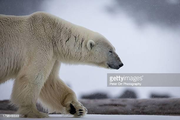 Polar Bear in search of food
