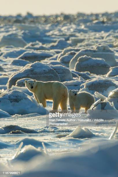 polar bear in snow - arctic stock pictures, royalty-free photos & images