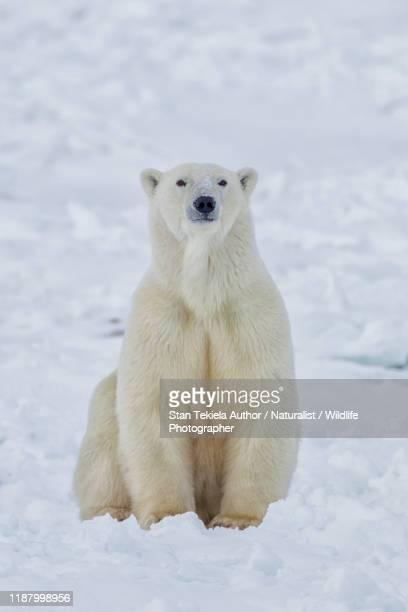 polar bear in snow - polar bear stock pictures, royalty-free photos & images