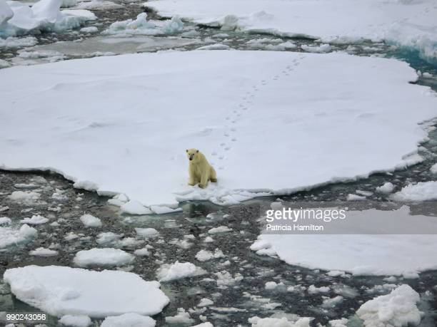 polar bear in svalbard, sitting on sea ice. footprints behind. - bear tracks stock photos and pictures