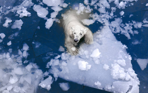 polar bear in the ice