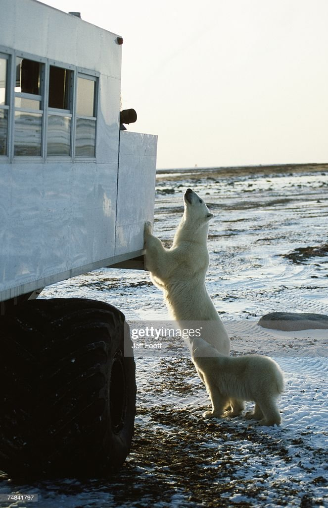 Polar bear inspects tundra buggy. Churchill, Canada : Stock Photo