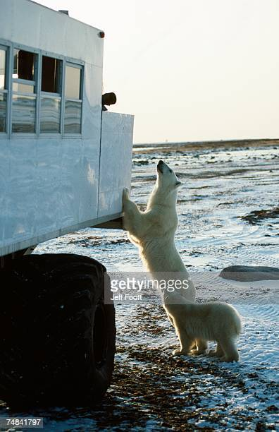 Polar bear inspects tundra buggy. Churchill, Canada