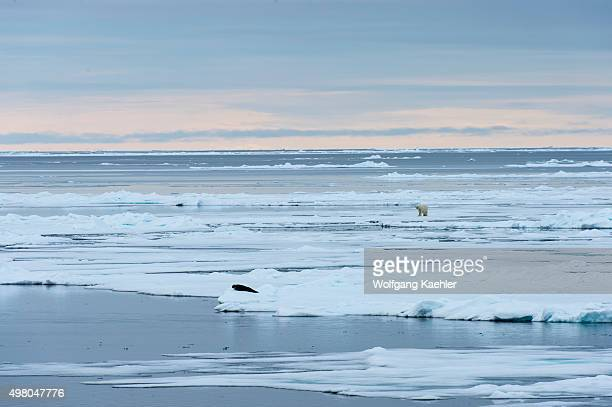 A polar bear is approaching a Harp seal on the pack ice north of Svalbard Norway