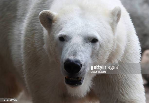 Polar bear is in the enclosure at the Toronto Zoo which is still closed to prevent the spread of COVID-19 during the pandemic in Toronto. May 2, 2020.