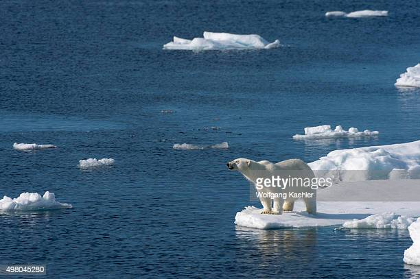 A polar bear is looking for food at the edge of the pack ice north of Svalbard Norway