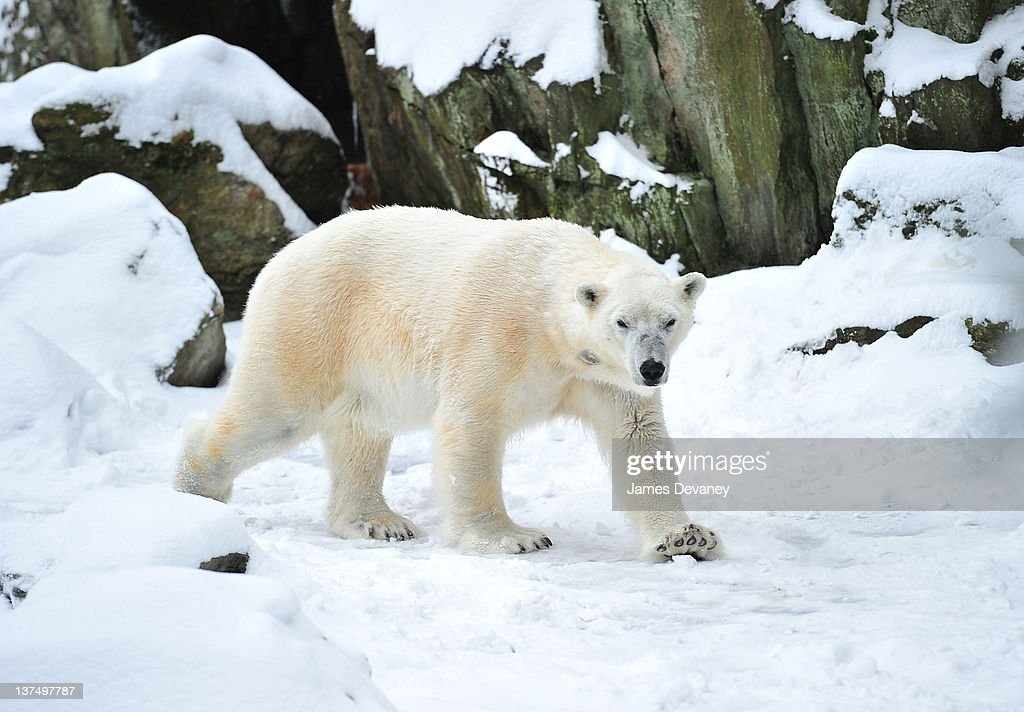 A polar bear is seen at the Bronx Zoo after a snow storm on January 21, 2012 in the Bronx borough of New York City.