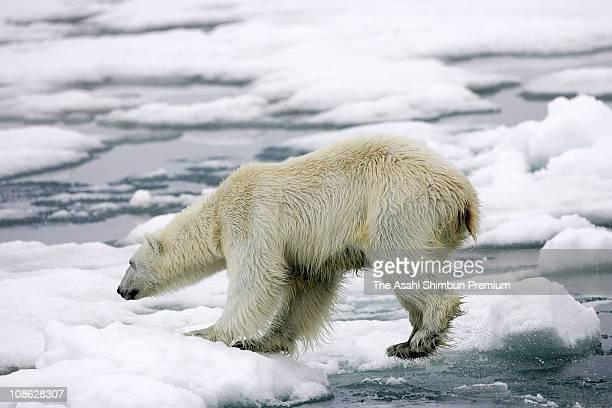 A polar bear is seen on July 2 2006 in Svalbard Norway
