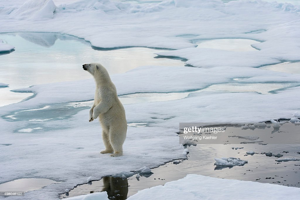 A polar bear (Ursus maritimus) is standing on the pack ice... : News Photo