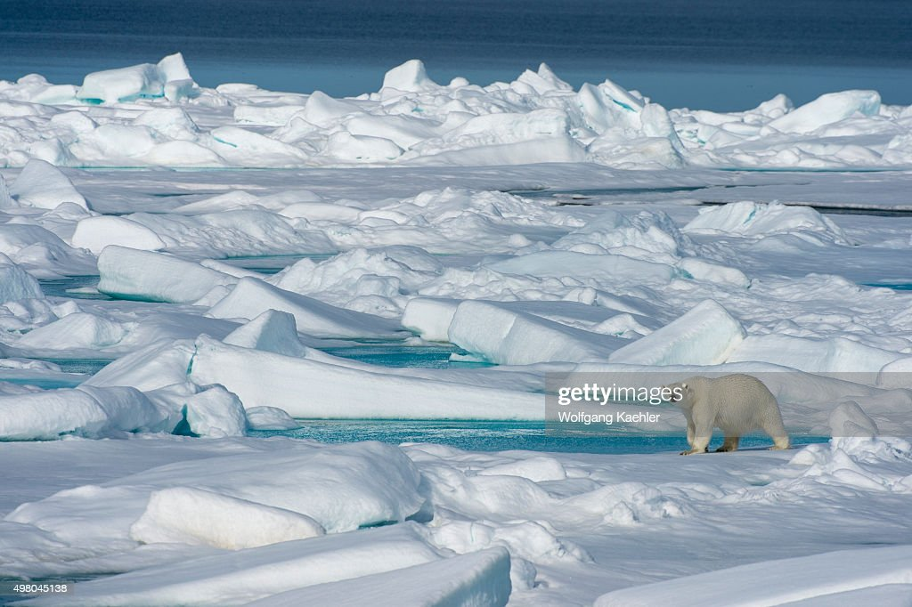 A polar bear (Ursus maritimus) is walking on the pack ice... : News Photo