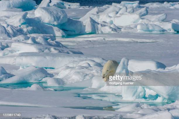 Polar bear is walking over the pack ice north of Svalbard, Norway.