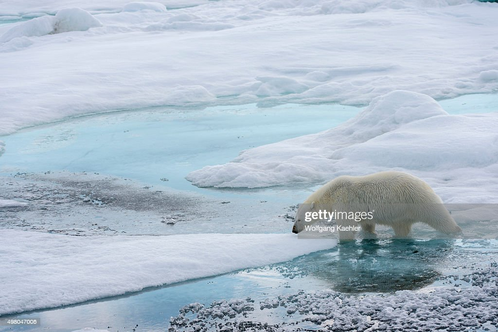 A polar bear (Ursus maritimus) is walking over the pack ice north of Svalbard, Norway.