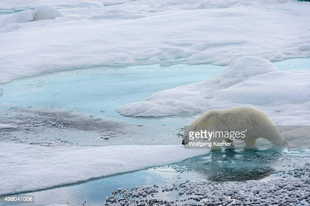 A polar bear is walking over the pack ice north of Svalbard Norway