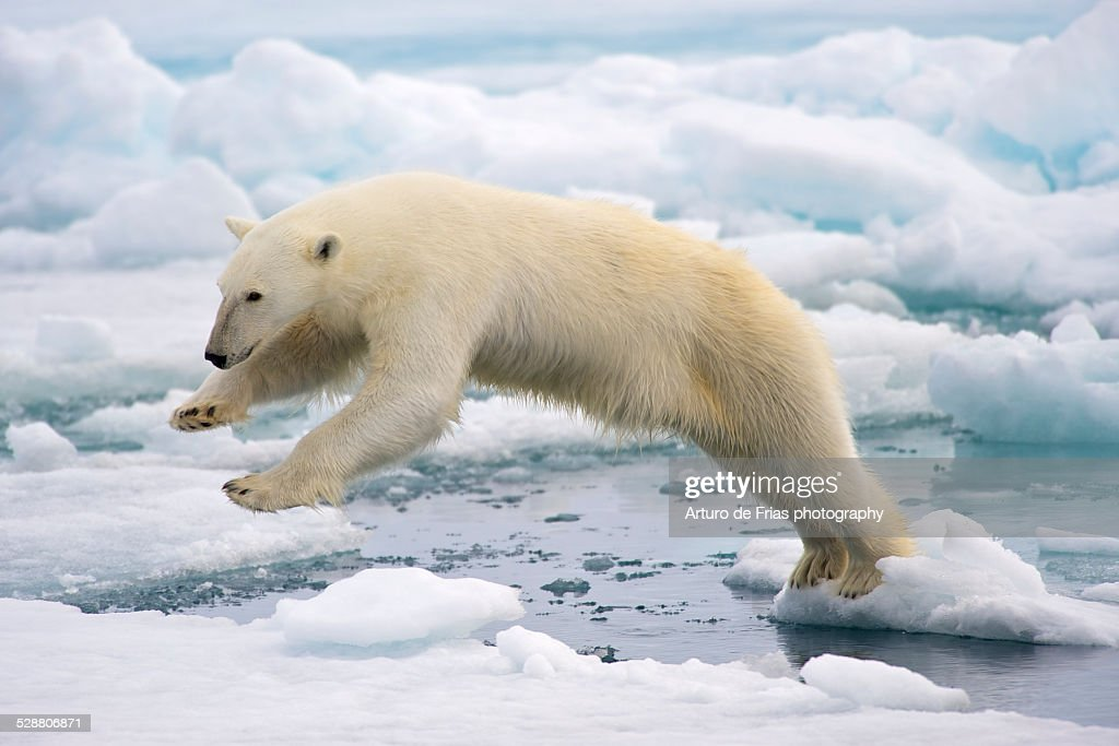 Polar Bear jumping in the fast ice : Stock-Foto