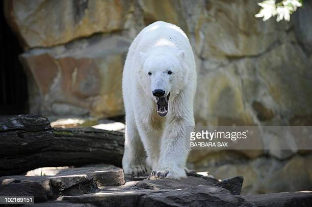 Polar bear Knut walks around his enclosure at the Zoologischer Garten zoo in Berlin on June 17 2010 Most polar bears in captivity in Germany have...