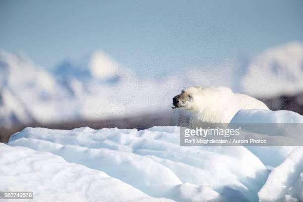 polar bear (ursus maritimus), krossfjorden, svalbard and jan mayen, norway - pakijs stockfoto's en -beelden