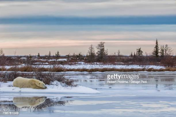 polar bear (ursus maritimus) laying alongside a thawing pond waiting for hudson bay to freeze over - hudson bay stock photos and pictures