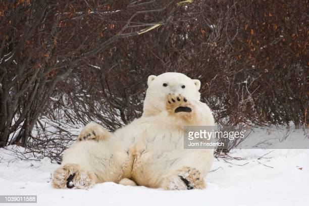Polar Bear (Ursus maritimus) laying on its back, waving, Churchill, Manitoba, Canada