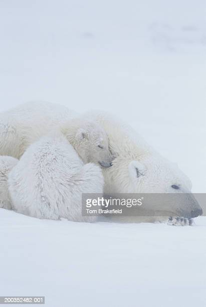 polar bear ursus maritimus laying with cub close up canada