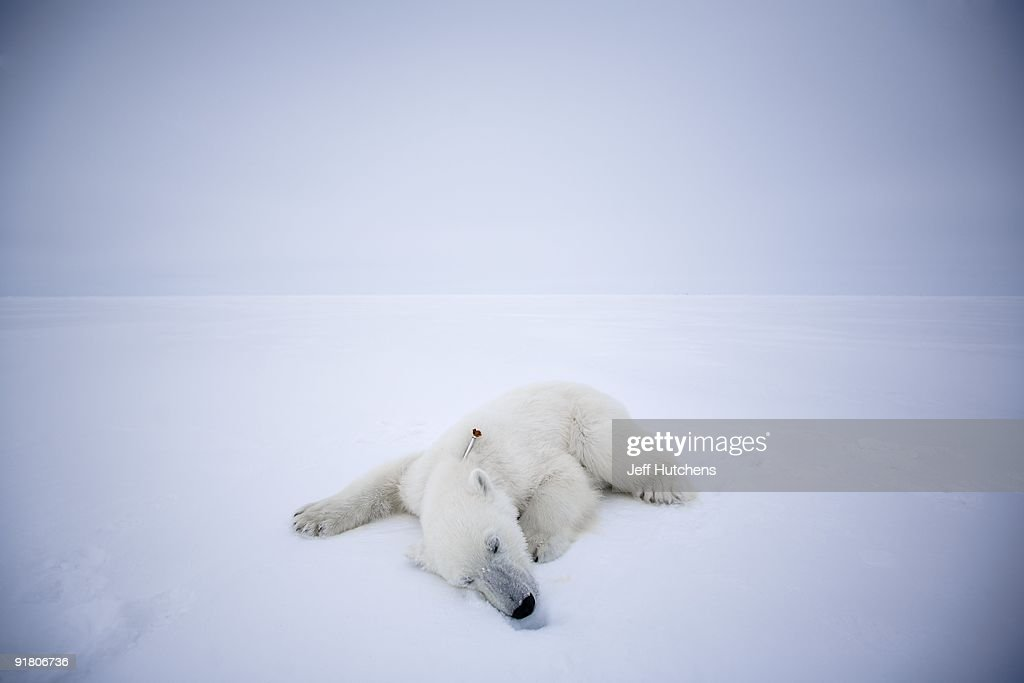A polar bear lies sedated above the Arctic Circle, felled by a tranquilizer dart from a United States Geological Survey (USGS) scientist researching the health of global polar bear populations on April 29, 2007 in Kaktovik, Alaska. As fears of global warming mount, scientists are debating whether or not to preemptively include polar bears on the endangered species list.