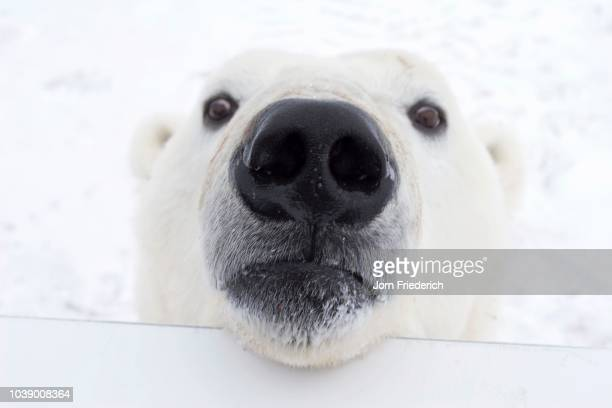 Polar bear (Ursus maritimus) looking over the railing of a Tundra Buggy, Churchill, Manitoba, Canada