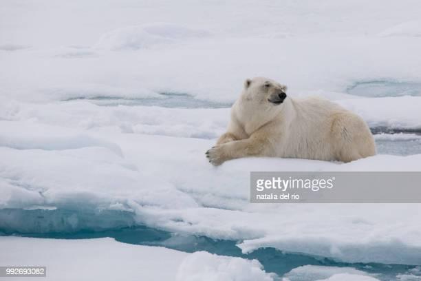 Polar bear lying down in snow, Spitsbergen, Svalbard, Norway