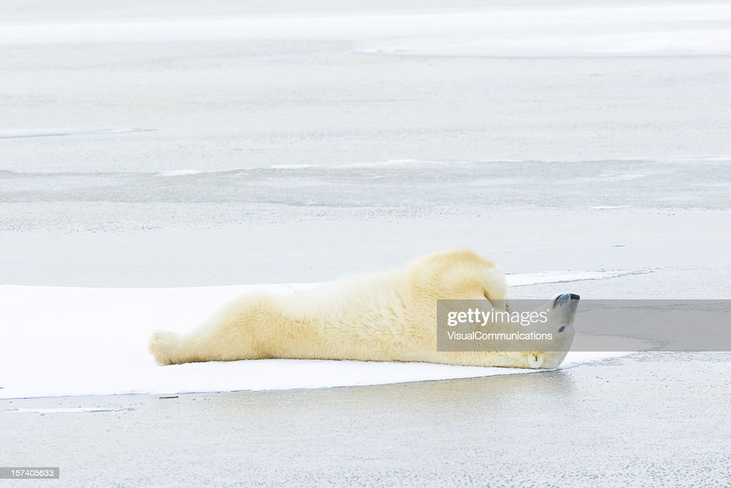 polar bear lying down on ice stock photo