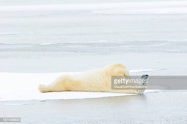 Polar bear lying down on ice.