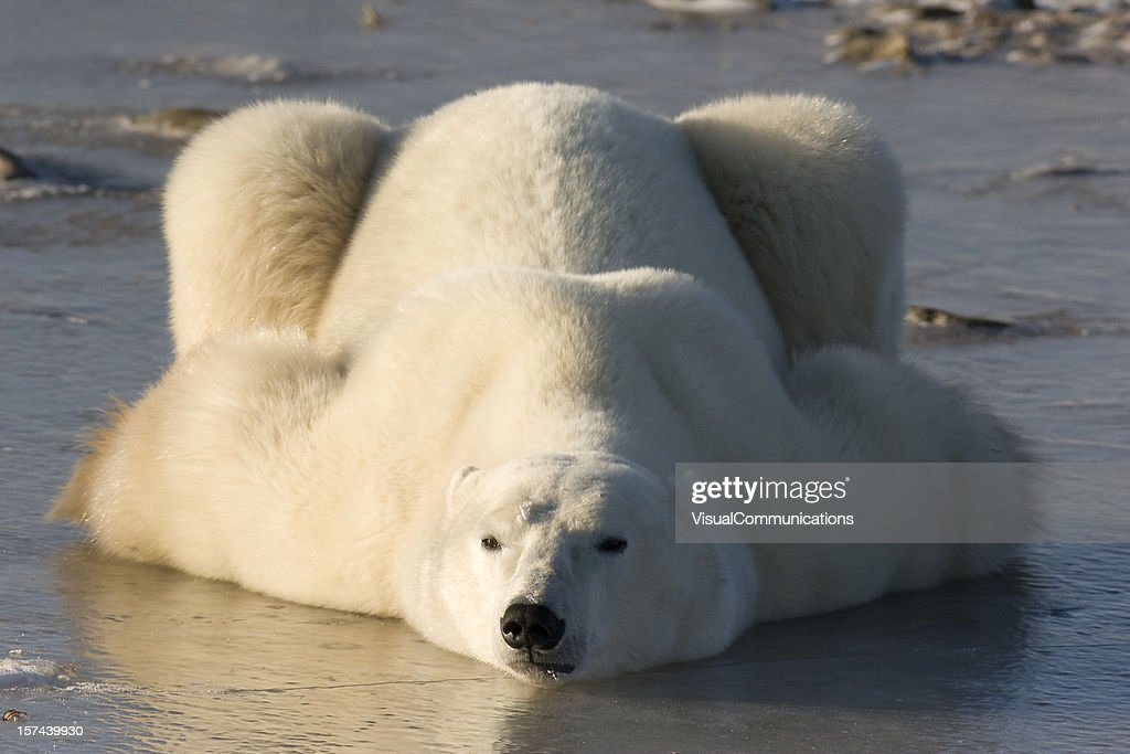 Polar bear lying down.