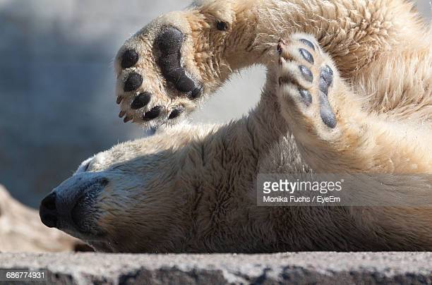 polar bear lying on concrete at zoo - fuchspfote stock-fotos und bilder