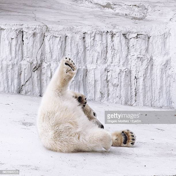 Polar Bear Lying On Field