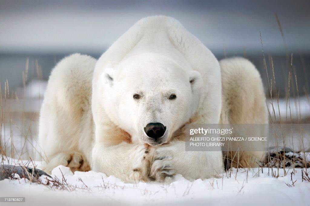Polar bear lying on ice : Stock Photo