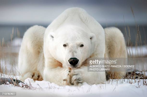 polar bear lying on ice - polar bear stock pictures, royalty-free photos & images