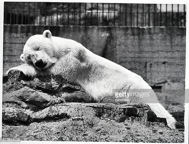 Polar bear Missia sleeps on a rock at the Regent's Park Zoo in the summer sun   Location Regent's Park Zoo London England UK