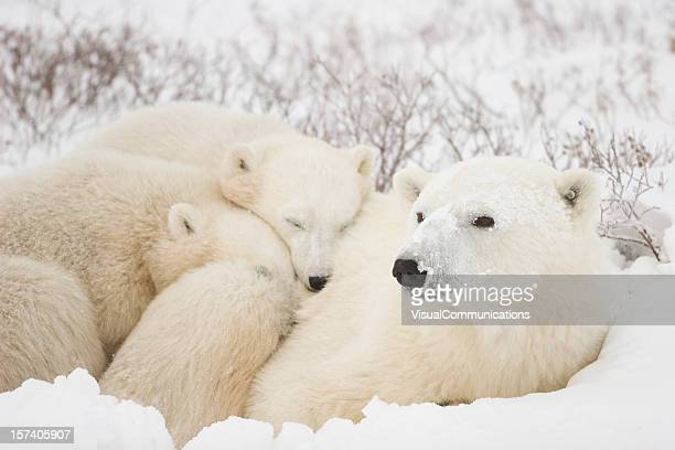 Polar bear mom and cubs.