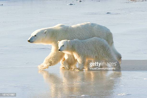 polar bear mom and cubs. - hudson bay stock photos and pictures