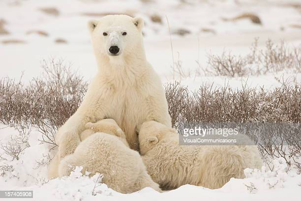 polar bear mom feeding the cubs. - cub stock pictures, royalty-free photos & images
